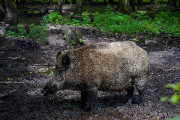 Boar in mud